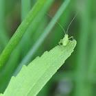 Struiksprinkhaan, Speckled bush-cricket (nymph)
