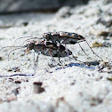 Royal Tiger Beetle