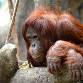Who's Lookin' At Who by Lynn Kirchhoff - Animals Other Mammals ( orangutan, zoo animals, primates,  )