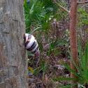 Florida Tree Snail