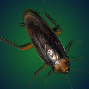 pesky-roach