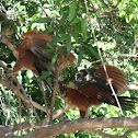 Hoatzin (Stink bird)