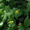 Evergreen Violet