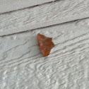 Large Maple Spanworm
