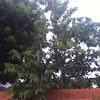 Custard Apple Tree
