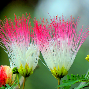 Powder puffs by Yusop Sulaiman - Flowers Flower Gardens (  )