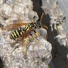 European Papar Wasp