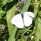 Cabage White Butterfly