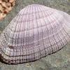 Violet Asphis Shell