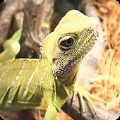 【無料育成】ポケット爬虫類(トカゲ)~ウォータードラゴン~