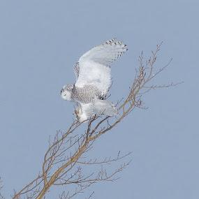 by Nelson Gagnon - Animals Birds