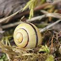 Brown Lipped Snail