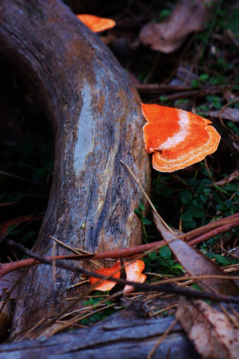 Scarlet Bracket Fungus