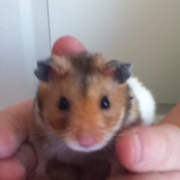 teddy bear hamster project noah
