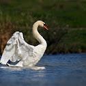 swan, male