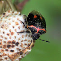 Twice-Stabbed Stink Bug