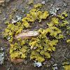 Hooded Sunburst Lichen