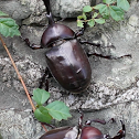 Japanese Rhinocerous Beetle