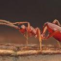 Female Ichneumonid wasp