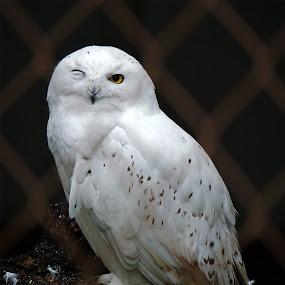 Wink, Wink by Sunny Zheng - Animals Birds ( winking, snowy owl, caged bird,  )