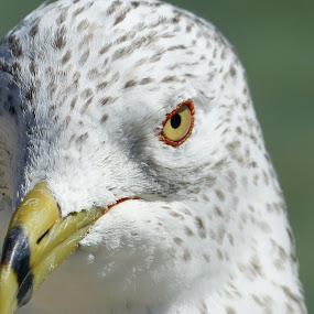 Seagull at the Florida Keys by Francesco Altamura - Animals Birds ( bird, seagull, nature, florida, sea, animal,  )