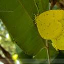 Common Grass Yellow