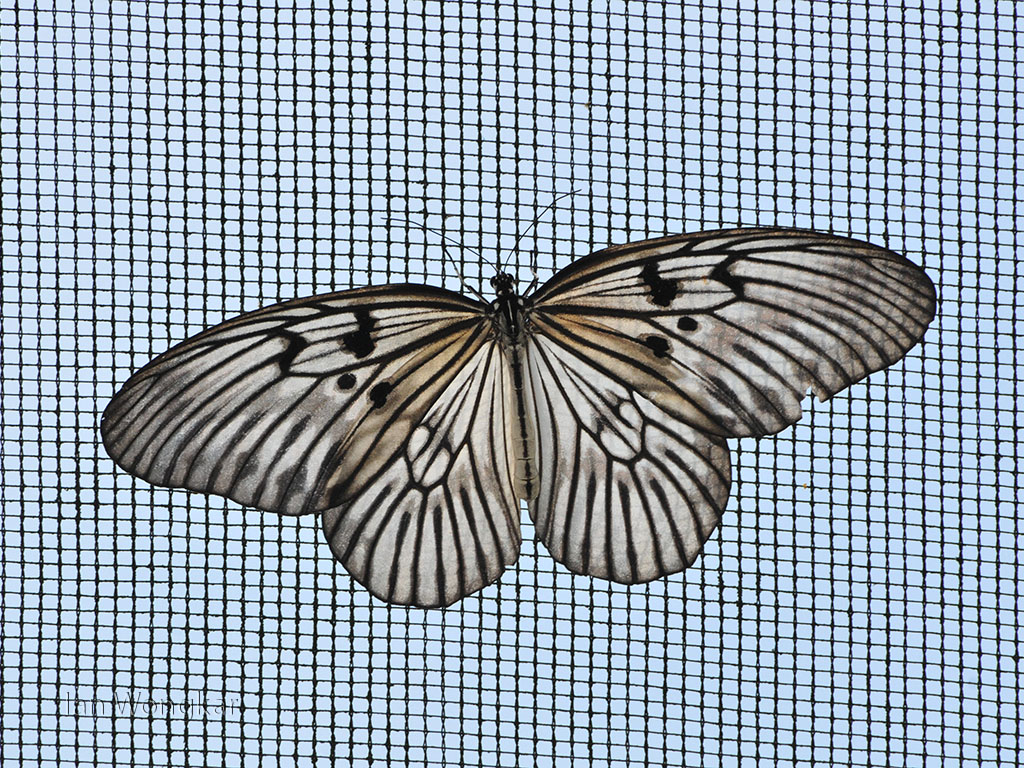 The rice-paper butterfly