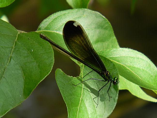 ebony jewelwing (female)