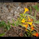 Marmalade Bush, Orange Browallia, Firebush