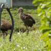 Limpkin (young)