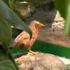 Sri Lankan Rufous Babbler