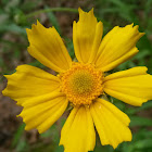 Lance-leaf Tickseed
