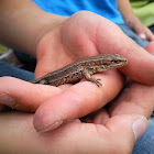 viviparous lizard or common lizard