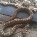 Pacific Gopher Snake