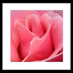 touching pink rose wallpaper
