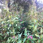 Reuzenbalsemien, Himalayan Balsam