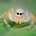 Two striped Jumping spider