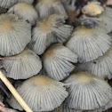 Corprinellus disseminatus