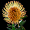 Yellow Pincushion Pixoto.jpg