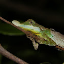 Tennent's leaf-nosed lizard