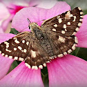 Orcynoides Checkered Skipper.