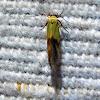 Yellow Stathmopoda Moth