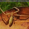 Long striped spider