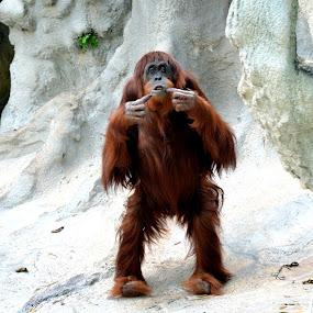 Orangutan by Milton Moreno - Animals Other Mammals ( animals, monkeys, ape, apes, orangutans, orangutan, monkey )