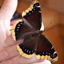 Morning Cloak Butterfly