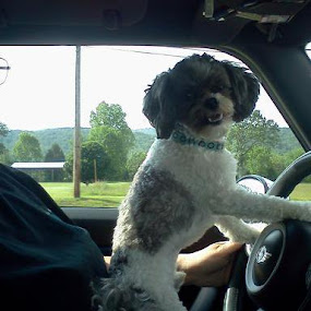 Forgot 2 tell him 2 watch the road. by Sandra Whitt - Novices Only Pets