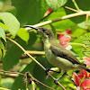 Loten Sunbird Female