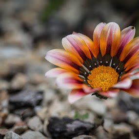 Gazania by Martin Oosthuizen - Flowers Flowers in the Wild ( wild, gazania, flora, circle, flower, petal )