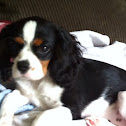 Kiara the cavalier King Charles spaniel