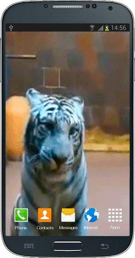 White Tiger Licks Screen LWP
